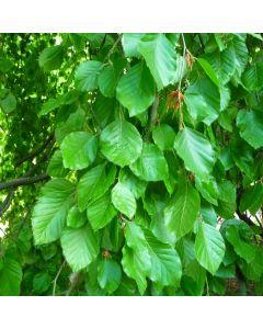 Fagus sylvatica - Green Beech