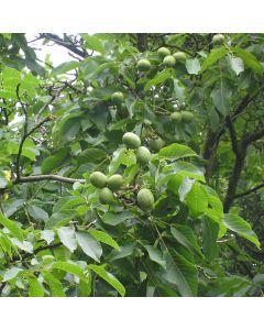 Juglans regia - Common Walnut