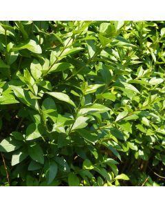 Ligustrum ovalifolium - Oval Leaved Privet