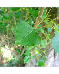 Populus nigra betulifolia - Native Black Poplar