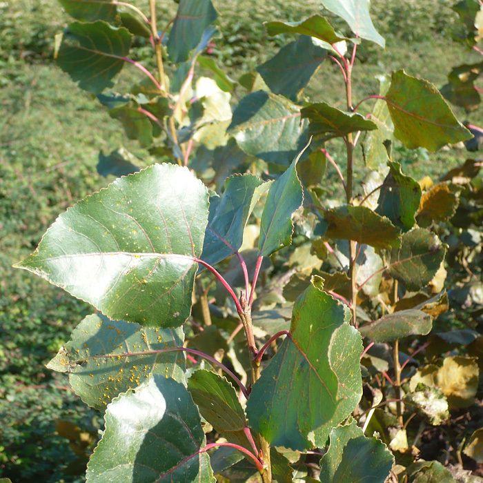 Populus robusta - Hybrid Poplar