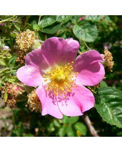 Rosa rubiginosa - Sweet Briar Rose
