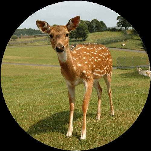 Roe Deer/Muntjac